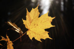 Sunray Yellow Maple Leaf. A yellow Maple Leaf backlit by the sun against a dark background, surrounded by sunrays stock photos