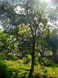 Sunrays που έρχεται μέσω του δέντρου Στοκ Εικόνα