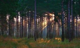 Sunrays στο θερινό δάσος Στοκ φωτογραφίες με δικαίωμα ελεύθερης χρήσης