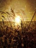 Sunrays через Seagrass (овсы моря) Стоковые Изображения