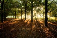 Sunrays attraverso gli alberi di faggio in autunno immagini stock libere da diritti