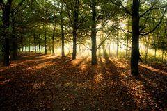 Sunrays through beech trees in autumn. With fallen beech leaves on the ground - horizontal Royalty Free Stock Images