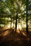 Sunrays through beech trees in autumn Royalty Free Stock Images