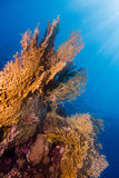 Sunrays in the coral garden. A Coral garden in the red sea royalty free stock images