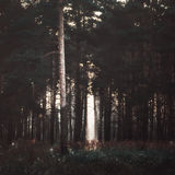 Sunrays In The Dark Forest Royalty Free Stock Photo