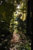 Sunrays en las maderas Imagenes de archivo