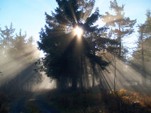 Sunrays in forest Royalty Free Stock Photo