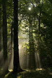 Sunrays in forest. Sunrays shining through the canopy of a forest royalty free stock photo