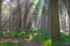 Sunrays in a forest Royalty Free Stock Photography