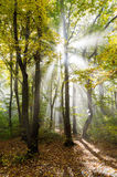 Sunrays in a forest Royalty Free Stock Images