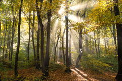 Sunrays in a forest Royalty Free Stock Photo