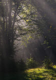 Sunrays in forest Royalty Free Stock Photos