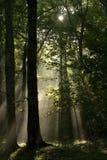 Sunrays in foresta Fotografia Stock Libera da Diritti