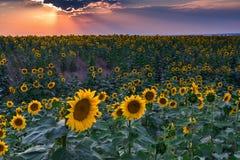 Sunrays i słoneczniki zdjęcia stock