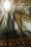 Sunrays i skogen Royaltyfri Fotografi