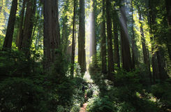 Sunrays in a magnificent redwood forest Royalty Free Stock Images