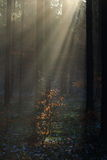 Sun rays into misty forest Royalty Free Stock Photography