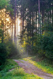 Sunrays through the Morning Forrest Stock Image