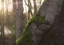 Sunrays on mossy tree trunk in autumn forest. Royalty Free Stock Photography