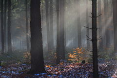 Sun rays in mystic winter forest Stock Photo
