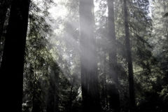 Sunrays nei Redwoods Immagine Stock