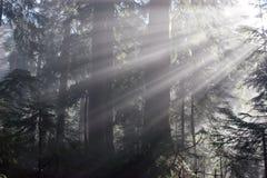 Sunrays nella foresta Fotografia Stock