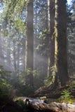 Sunrays nella foresta Fotografie Stock Libere da Diritti