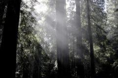 Sunrays nos Redwoods Imagem de Stock