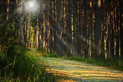 Sunrays over footpath in the woods Royalty Free Stock Image
