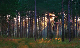 Sunrays In The Summer Forest Royalty Free Stock Photos