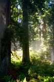 Sunrays through trees in the forest Royalty Free Stock Photography