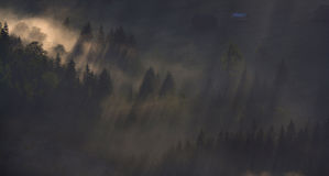 Sunrays through the trees in the morning fog. Trees in the morning fog up in the mountain Royalty Free Stock Images