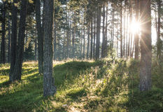 Sunrays in the woods Royalty Free Stock Photography