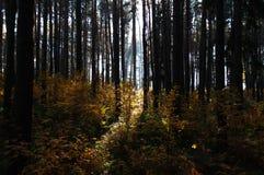 Sunrice在森林里 库存图片