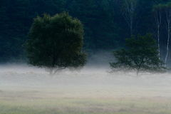 Trees  Fog. Early morning fog cover ground with the fog Stock Image