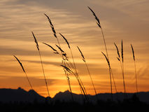 Sunrise. Silhouette of tall grass at sunrise with mountains in distance royalty free stock photo