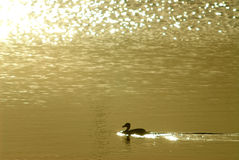 Sunrise. A duck and sunrise stock images
