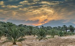 Sunrise above plantation of date palms near Eilat, Israel. Image depicts advanced tropical agriculture in the Middle East Royalty Free Stock Images
