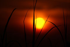 Sunrise African. Dramatic sunrise with stark silhouetted grass blades in foreground royalty free stock photography