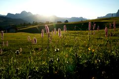 Sunrise on alp in the dolomites with beautiful flowers / alp de siusi in gardena valley royalty free stock photo