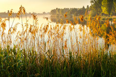 Sunrise at Alte Donau. With reed in th foreground Royalty Free Stock Image