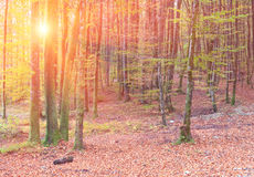 Sunrise in autumn forest. Stock Photo