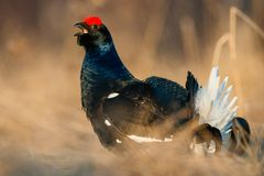 Sunrise Back-light Portrait of male Black Grouse (Tetrao tetrix). Stock Images