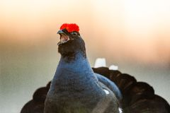 Sunrise Back-light Portrait of male Black Grouse (Tetrao tetrix).Backlight. Stock Photography