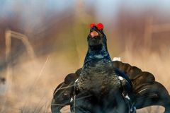 Sunrise Back-light Portrait of male Black Grouse Royalty Free Stock Images