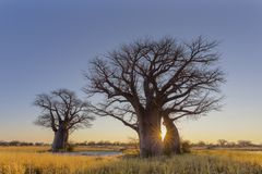 Sunrise at Baines Baobab`s campsite no 2. Botswana royalty free stock image