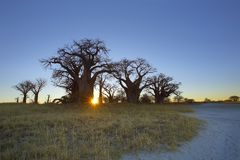 Sunrise at Baines Baobabs Royalty Free Stock Photo