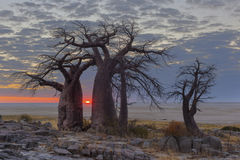 Sunrise at the baobabs Royalty Free Stock Photo