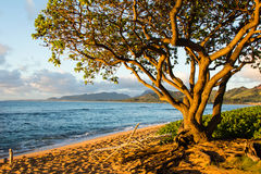 Sunrise Beach Tree. A tree catches the first rays of the sun in Kauai Hawaii.s Royalty Free Stock Photos