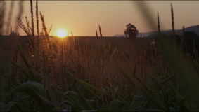 Sunrise on a beautiful morning meadow. Beautiful sunset over the large field of corn. stock video footage